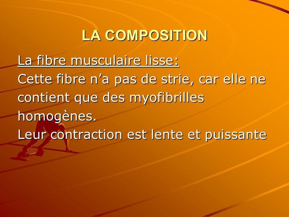 LA COMPOSITION La fibre musculaire lisse: Cette fibre na pas de strie, car elle ne contient que des myofibrilles homogènes. Leur contraction est lente