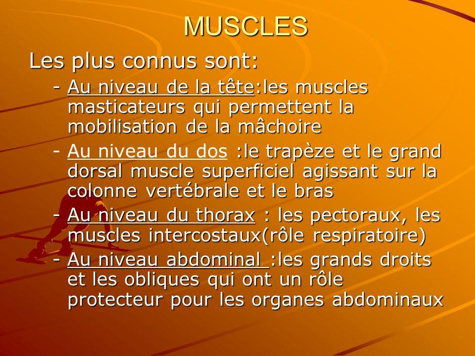 MUSCLES Les plus connus sont: -Au niveau de la tête:les muscles masticateurs qui permettent la mobilisation de la mâchoire - :le trapèze et le grand d