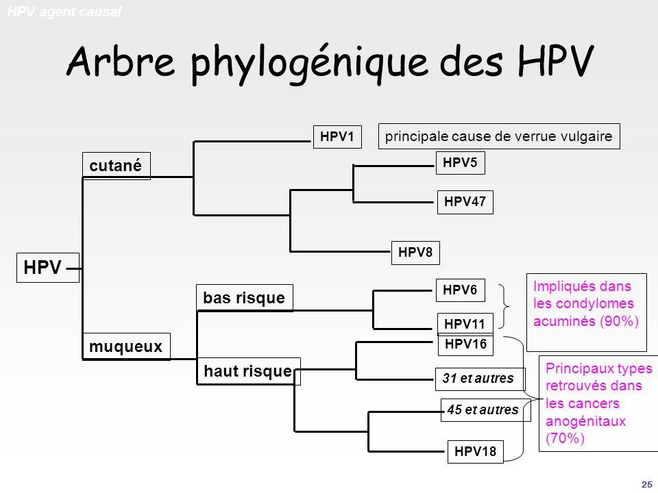 Arbre phylogénique des HPV HPV agent causal HPV18 HPV16 HPV11 HPV6 HPV8 HPV47 HPV5 HPV1 cutané muqueux principale cause de verrue vulgaire Impliqués d