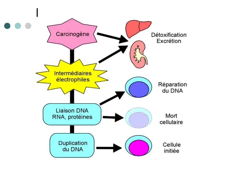 INITIATION (2) Carcinogènes chimiques variées: Hydrocarbures polycycliques aromatiques Amines aromatiques (colorants, caoutchouc..) Nitrosamines, nitrosamides, nitrosurées (nourriture..) Aflatoxine B1 ( cacahuètes..) Fibres (amiante..)