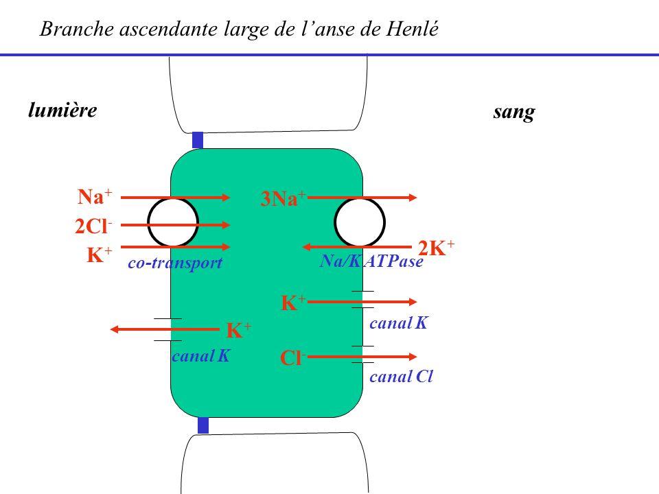 lumière sang 2K + Na + 2Cl - K + 3Na + Branche ascendante large de lanse de Henlé K+K+ canal K canal Cl K+K+ Cl - co-transport Na/K ATPase