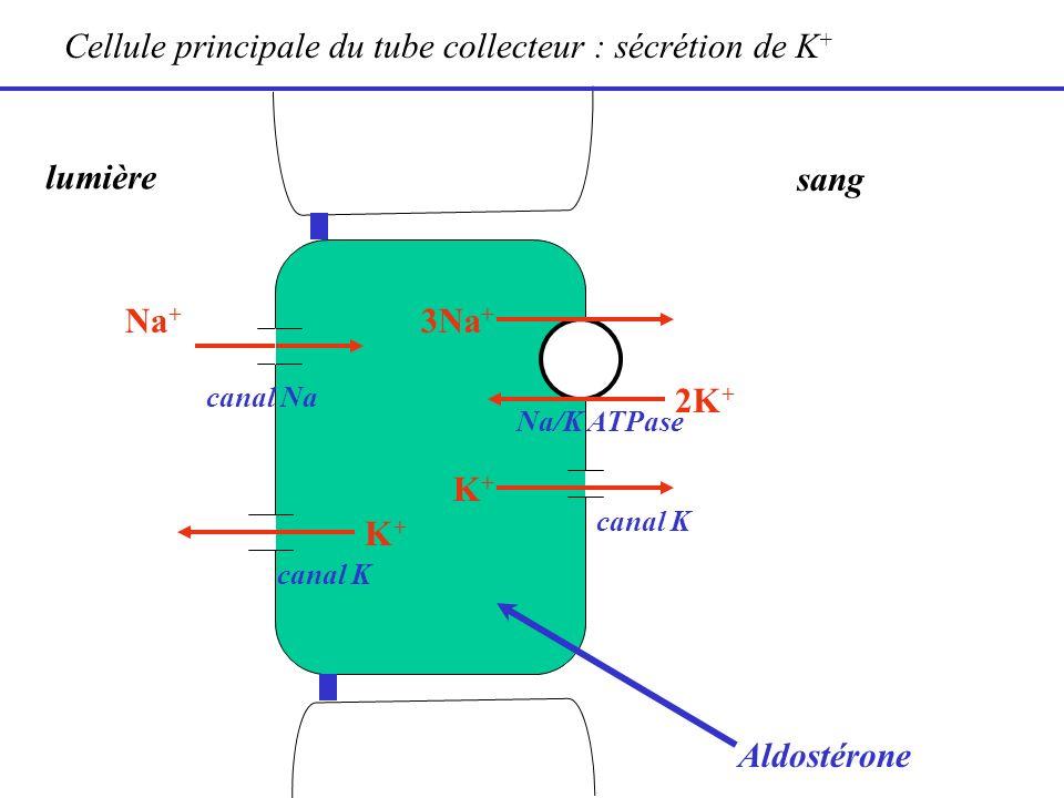 lumière sang 2K + Na + 3Na + Cellule principale du tube collecteur : sécrétion de K + K+K+ canal K K+K+ Na/K ATPase canal Na Aldostérone
