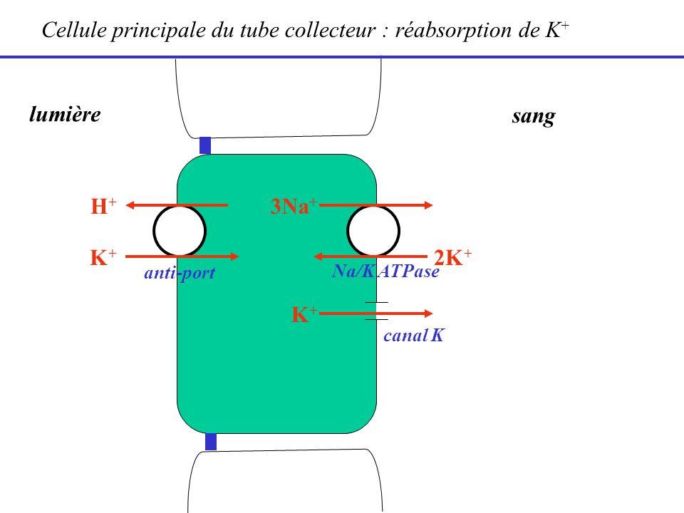 lumière sang 2K + 3Na + Cellule principale du tube collecteur : réabsorption de K + canal K K+K+ Na/K ATPase H+H+ anti-port K+K+