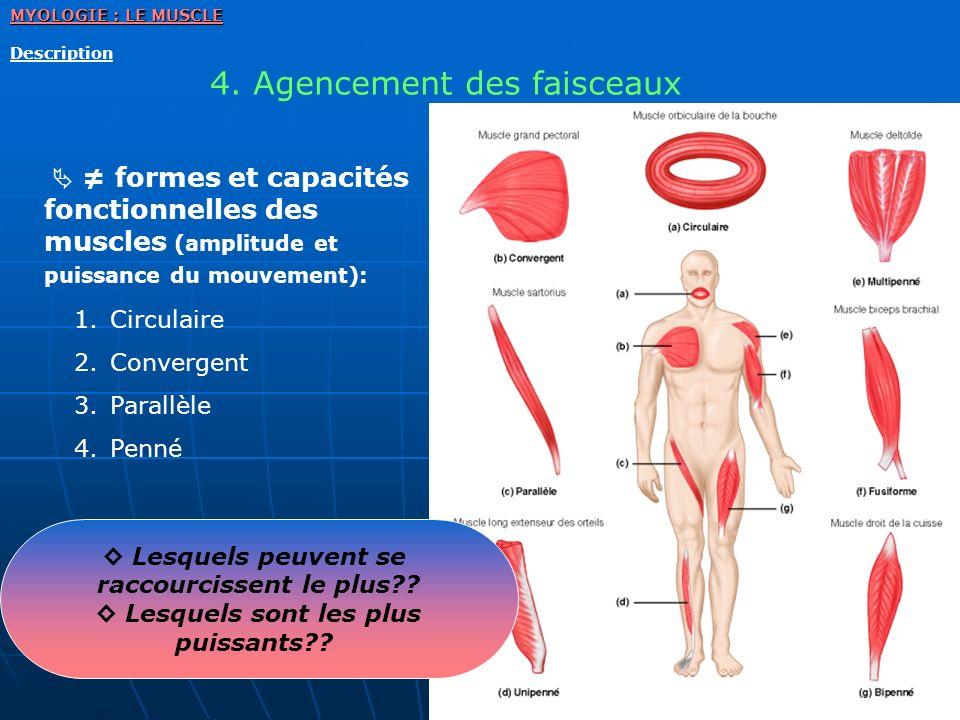 MYOLOGIE : LE MUSCLE Description 4. Agencement des faisceaux formes et capacités fonctionnelles des muscles (amplitude et puissance du mouvement): 1.C