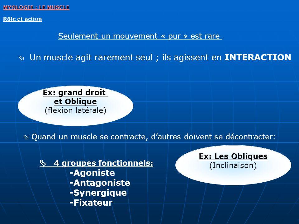 Un muscle agit rarement seul ; ils agissent en INTERACTION Ex: grand droit et Oblique (flexion latérale) Quand un muscle se contracte, dautres doivent
