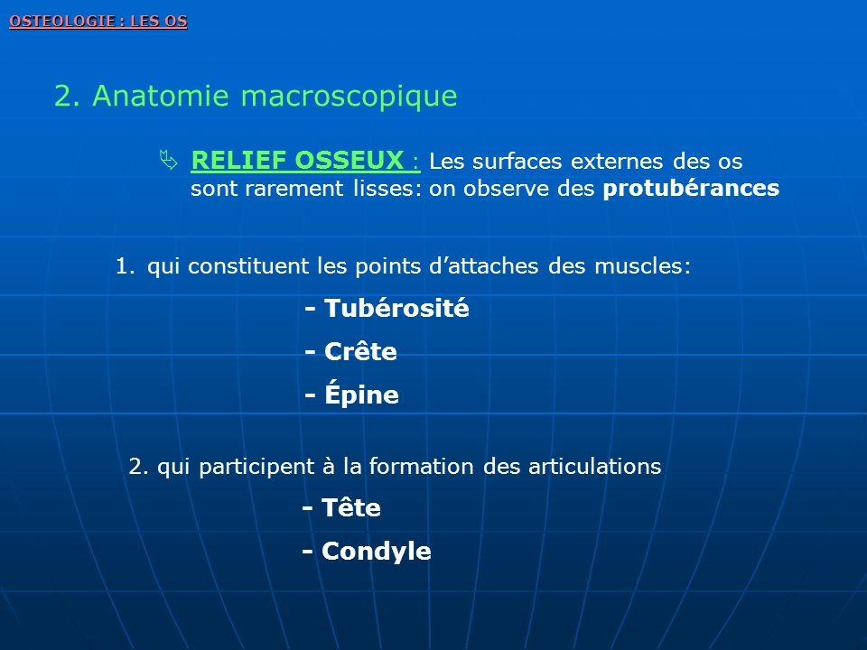2. Anatomie macroscopique OSTEOLOGIE : LES OS RELIEF OSSEUX : Les surfaces externes des os sont rarement lisses: on observe des protubérances 1.qui co