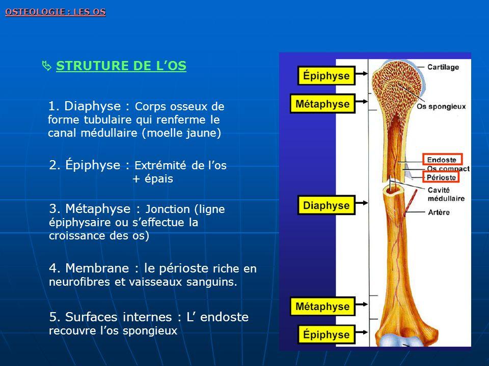 OSTEOLOGIE : LES OS STRUTURE DE LOS 1. Diaphyse : Corps osseux de forme tubulaire qui renferme le canal médullaire (moelle jaune) 2. Épiphyse : Extrém