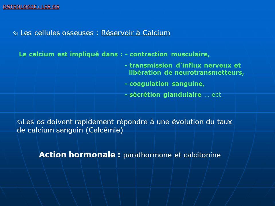 Les cellules osseuses : Réservoir à Calcium Le calcium est impliqué dans : - contraction musculaire, - transmission d'influx nerveux et libération de