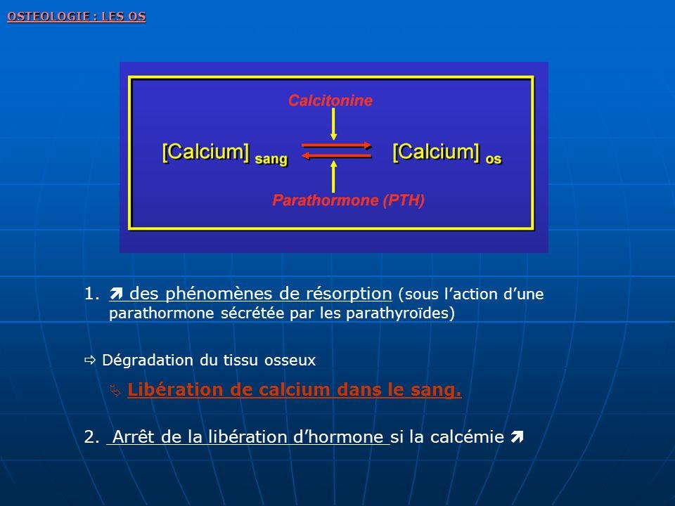 1. des phénomènes de résorption (sous laction dune parathormone sécrétée par les parathyroïdes) Dégradation du tissu osseux Libération de calcium dans