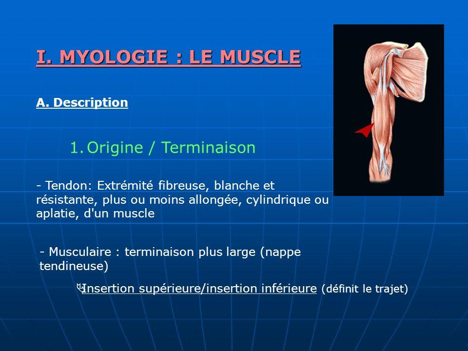 I. MYOLOGIE : LE MUSCLE A. Description 1.Origine / Terminaison Insertion supérieure/insertion inférieure (définit le trajet) - Tendon: Extrémité fibre
