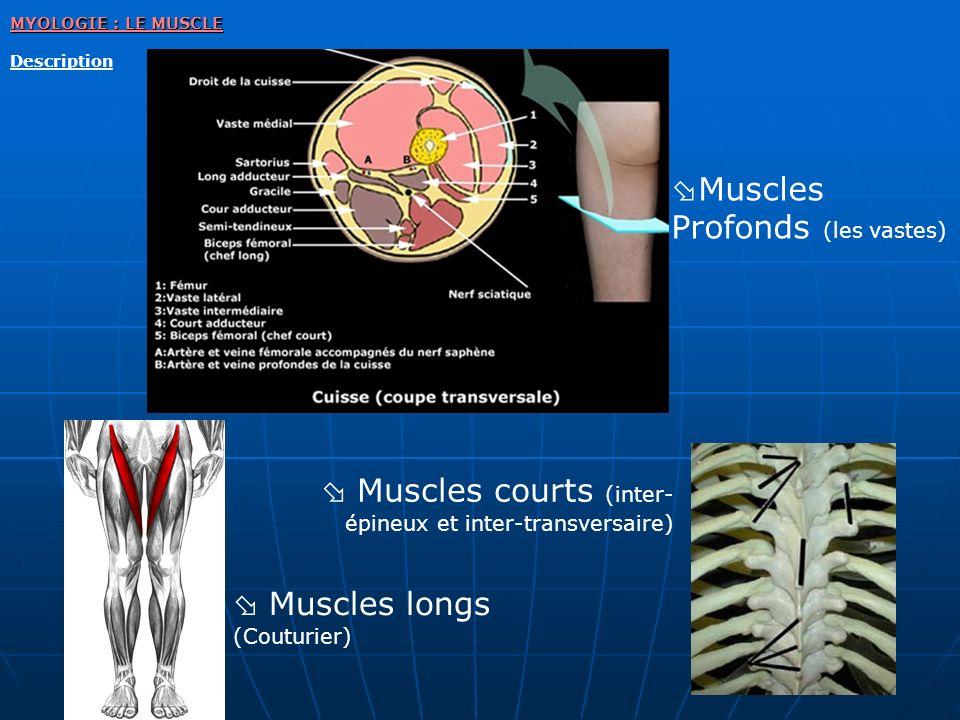 MYOLOGIE : LE MUSCLE Description Muscles courts (inter- épineux et inter-transversaire) Muscles longs (Couturier) Muscles Profonds (les vastes)