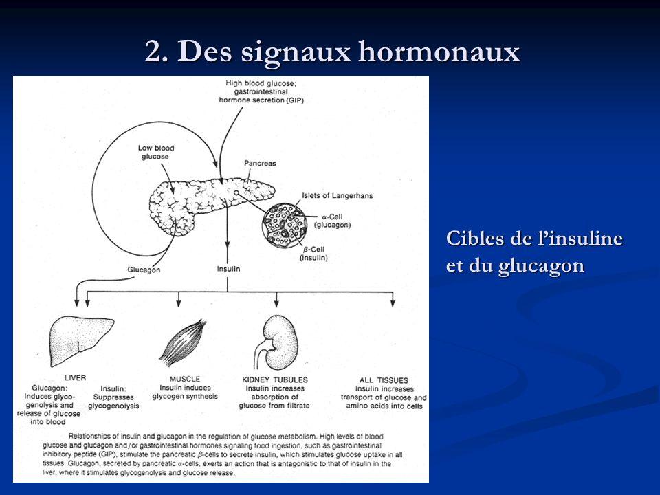 2. Des signaux hormonaux Cibles de linsuline et du glucagon