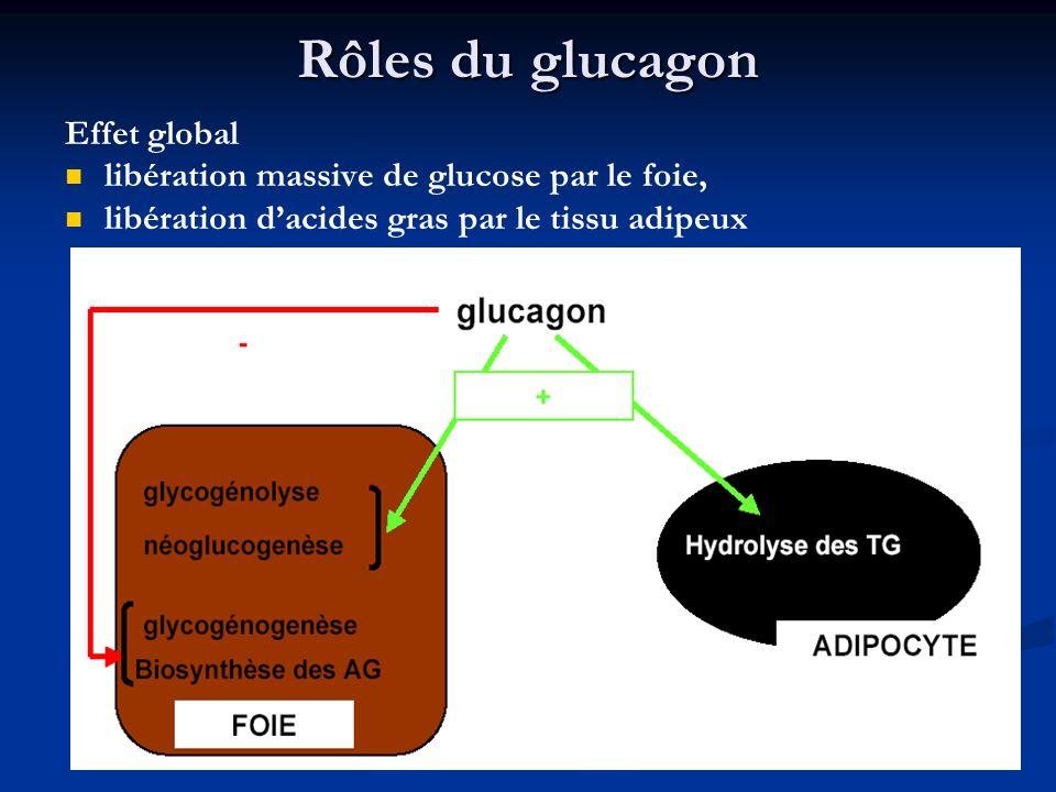 Rôles du glucagon Effet global libération massive de glucose par le foie, libération dacides gras par le tissu adipeux