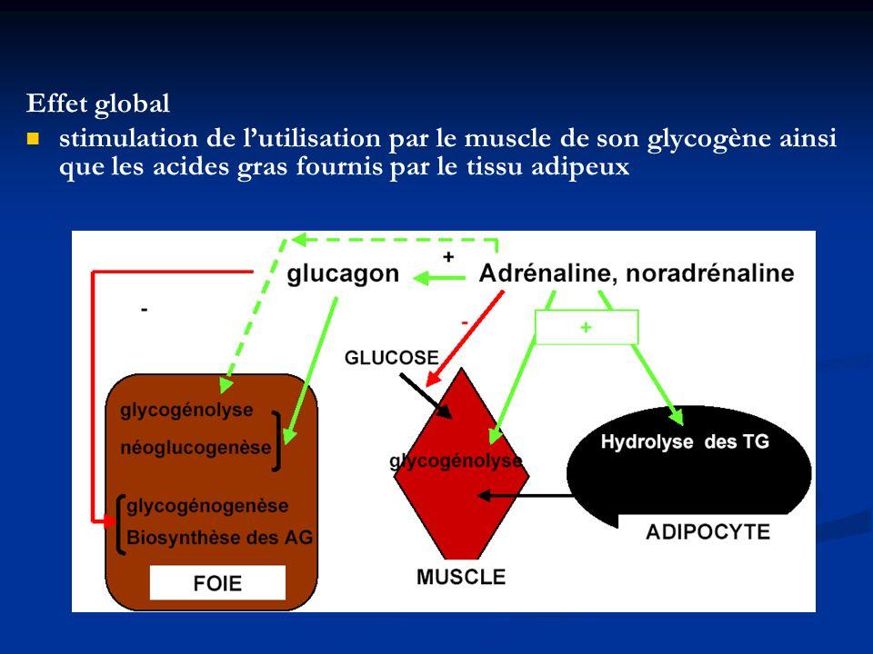 Effet global stimulation de lutilisation par le muscle de son glycogène ainsi que les acides gras fournis par le tissu adipeux