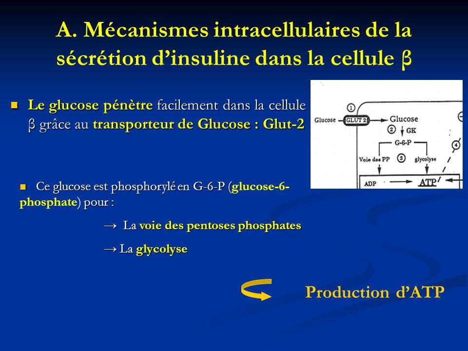 A. Mécanismes intracellulaires de la sécrétion dinsuline dans la cellule β Le glucose pénètre facilement dans la cellule β grâce au transporteur de Gl