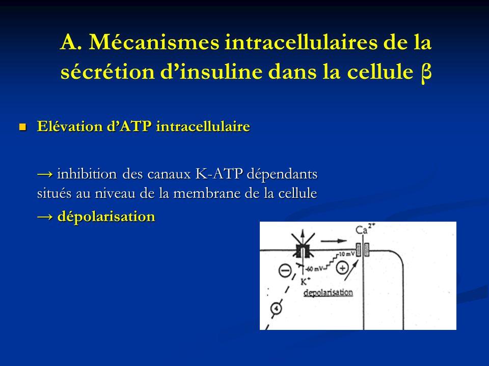 A. Mécanismes intracellulaires de la sécrétion dinsuline dans la cellule β Elévation dATP intracellulaire Elévation dATP intracellulaire inhibition de