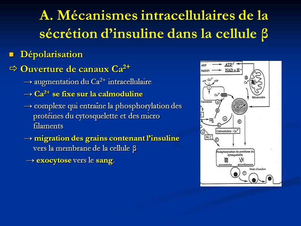 A. Mécanismes intracellulaires de la sécrétion dinsuline dans la cellule β Dépolarisation Dépolarisation Ouverture de canaux Ca 2+ Ouverture de canaux