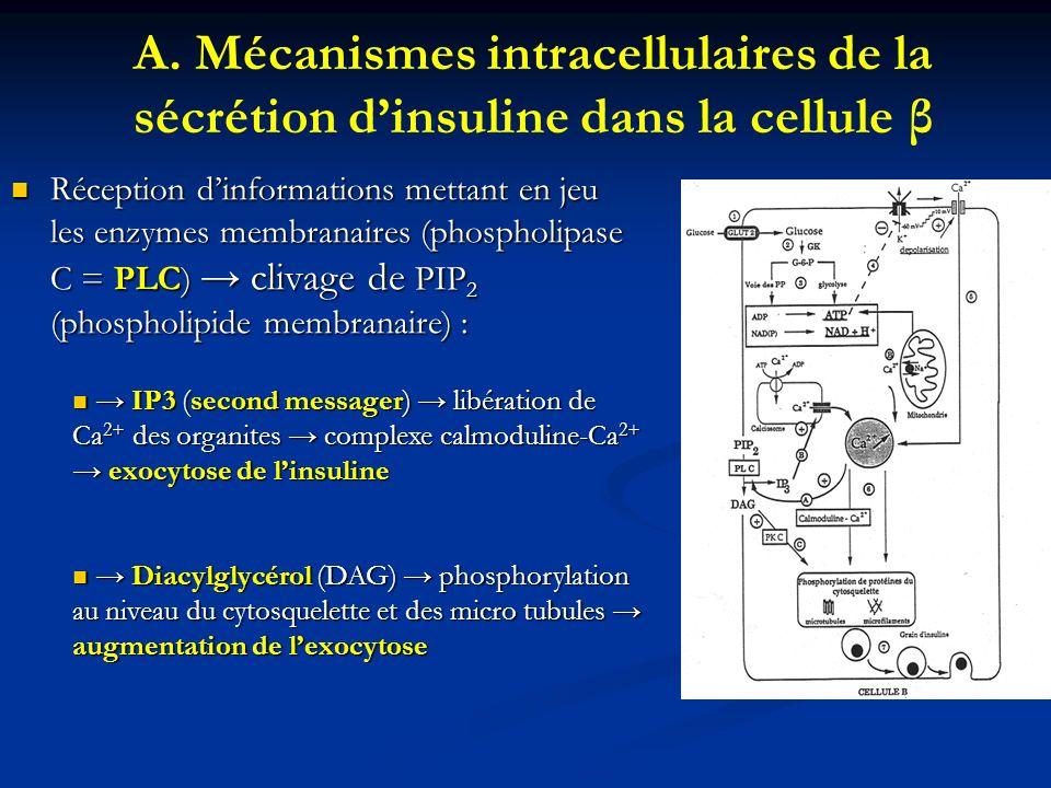 A. Mécanismes intracellulaires de la sécrétion dinsuline dans la cellule β Réception dinformations mettant en jeu les enzymes membranaires (phospholip