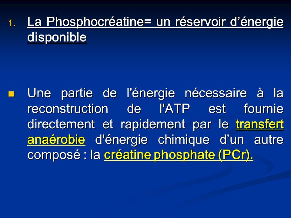 1. La Phosphocréatine= un réservoir dénergie disponible Une partie de l'énergie nécessaire à la reconstruction de l'ATP est fournie directement et rap