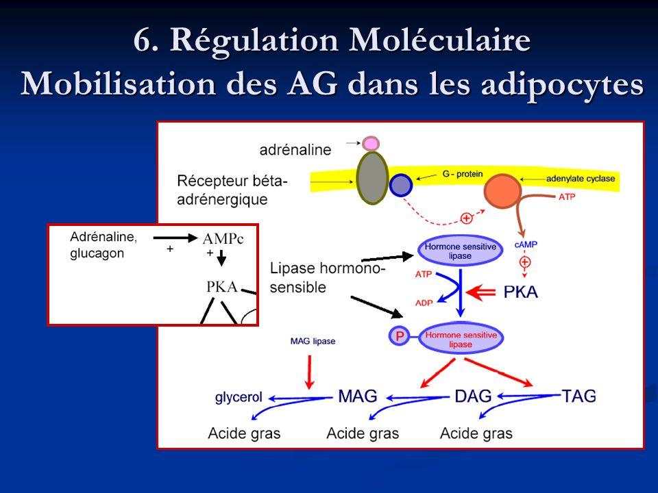 6. Régulation Moléculaire Mobilisation des AG dans les adipocytes