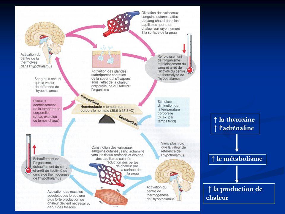 le métabolisme la thyroxine ladrénaline la production de chaleur