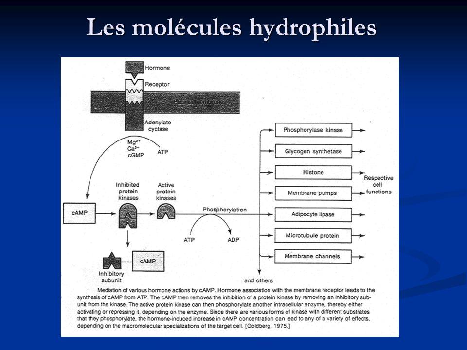 Les molécules hydrophiles