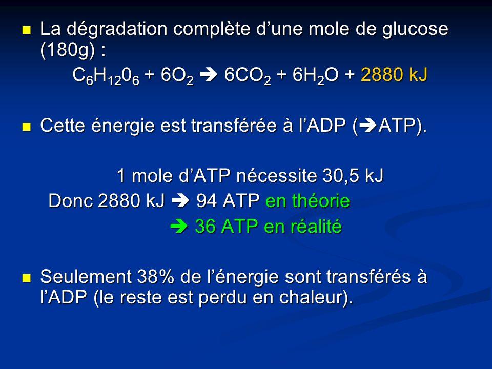 La dégradation complète dune mole de glucose (180g) : La dégradation complète dune mole de glucose (180g) : C 6 H 12 0 6 + 6O 2 6CO 2 + 6H 2 O + 2880