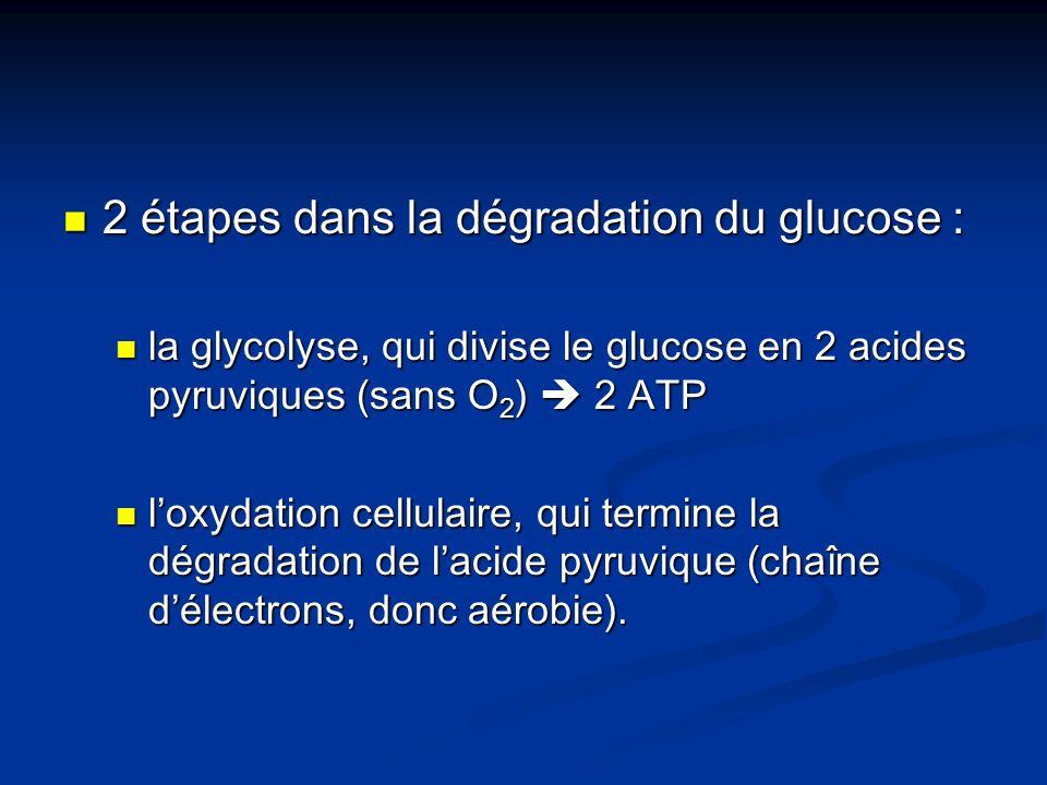 2 étapes dans la dégradation du glucose : 2 étapes dans la dégradation du glucose : la glycolyse, qui divise le glucose en 2 acides pyruviques (sans O