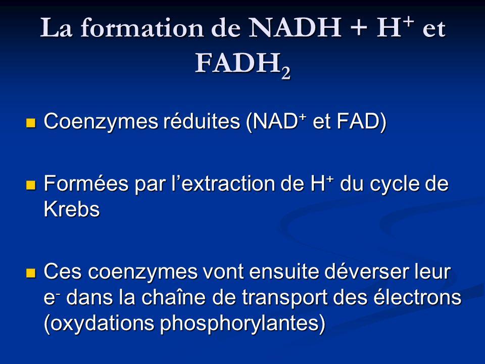 La formation de NADH + H + et FADH 2 Coenzymes réduites (NAD + et FAD) Coenzymes réduites (NAD + et FAD) Formées par lextraction de H + du cycle de Kr