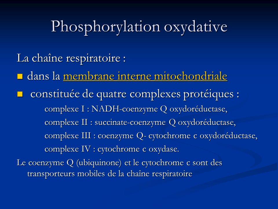 Phosphorylation oxydative La chaîne respiratoire : dans la membrane interne mitochondriale dans la membrane interne mitochondrialemembrane interne mit