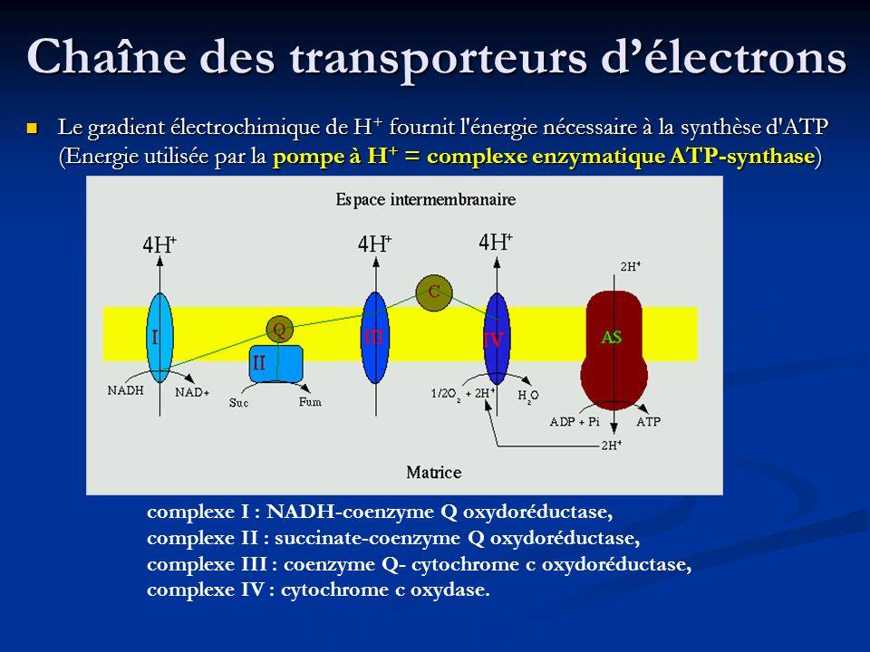 Chaîne des transporteurs délectrons Le gradient électrochimique de H + fournit l'énergie nécessaire à la synthèse d'ATP (Energie utilisée par la pompe