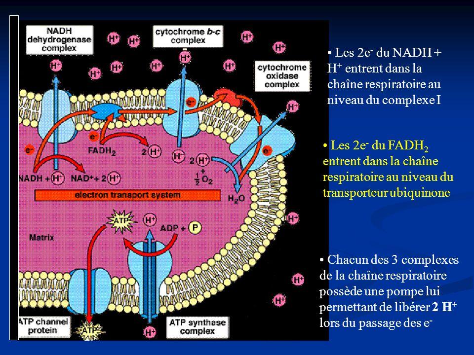 Les 2e - du NADH + H + entrent dans la chaîne respiratoire au niveau du complexe I Les 2e - du FADH 2 entrent dans la chaîne respiratoire au niveau du