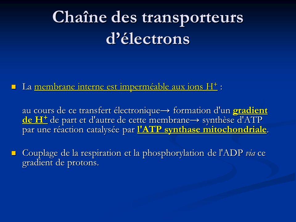 Chaîne des transporteurs délectrons La membrane interne est imperméable aux ions H + : La membrane interne est imperméable aux ions H + : au cours de
