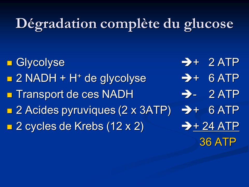 Dégradation complète du glucose Glycolyse + 2 ATP Glycolyse + 2 ATP 2 NADH + H + de glycolyse + 6 ATP 2 NADH + H + de glycolyse + 6 ATP Transport de c
