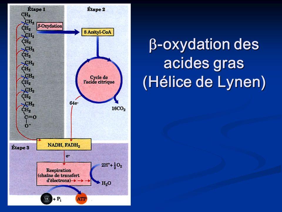 -oxydation des acides gras (Hélice de Lynen) -oxydation des acides gras (Hélice de Lynen)