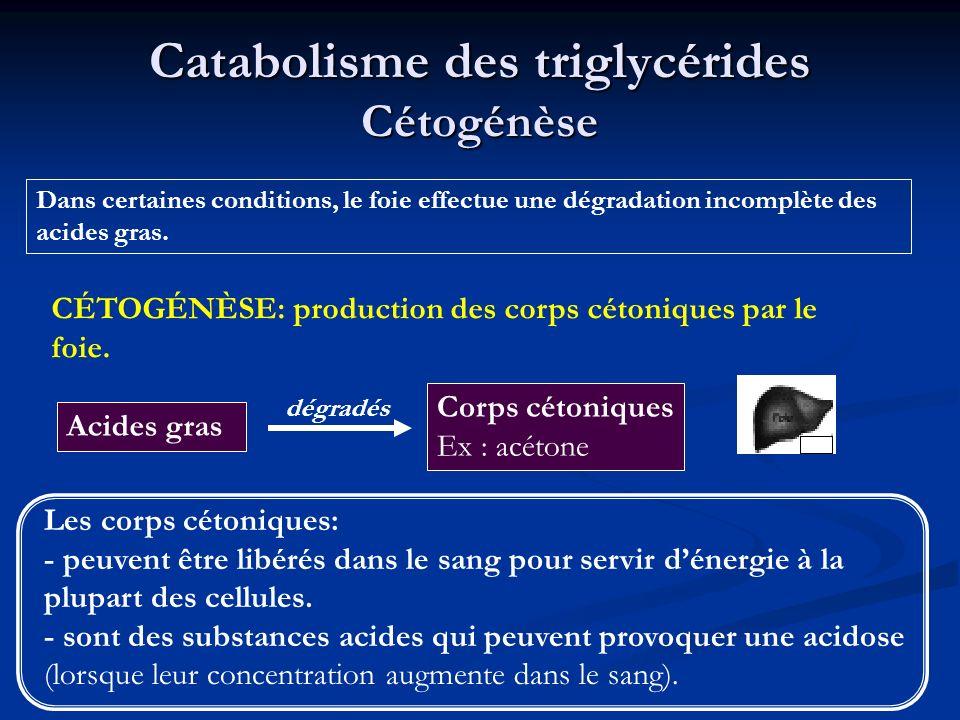 Catabolisme des triglycérides Cétogénèse Dans certaines conditions, le foie effectue une dégradation incomplète des acides gras. Acides gras Les corps