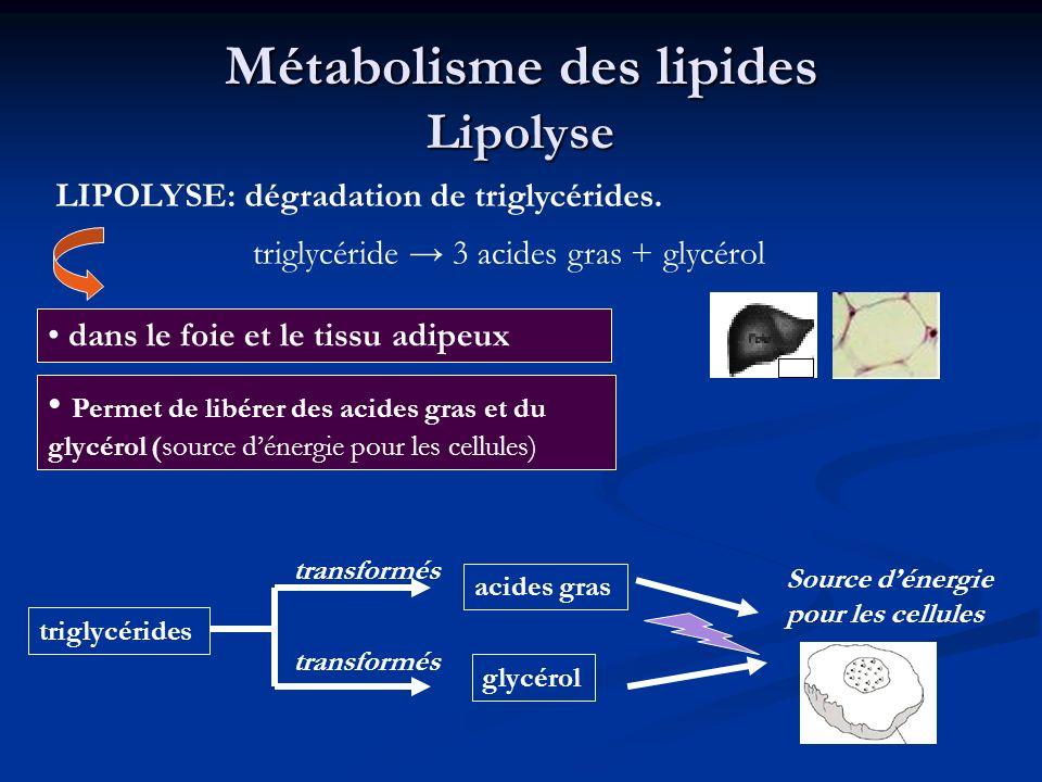 Métabolisme des lipides Lipolyse dans le foie et le tissu adipeux LIPOLYSE: dégradation de triglycérides. Permet de libérer des acides gras et du glyc