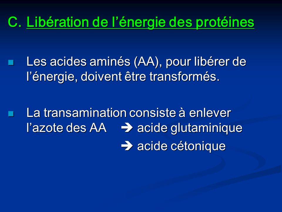 C.Libération de lénergie des protéines Les acides aminés (AA), pour libérer de lénergie, doivent être transformés. Les acides aminés (AA), pour libére