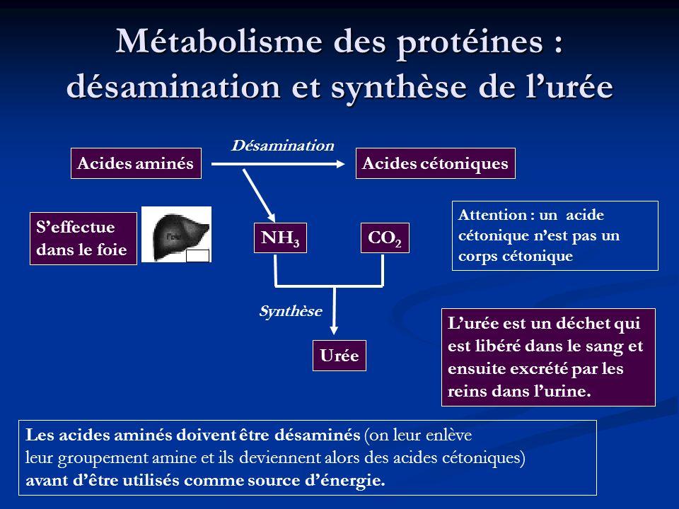 Métabolisme des protéines : désamination et synthèse de lurée Les acides aminés doivent être désaminés (on leur enlève leur groupement amine et ils de