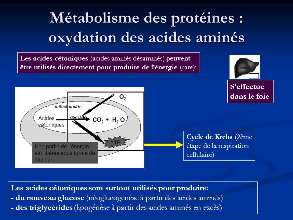 Métabolisme des protéines : oxydation des acides aminés Les acides cétoniques sont surtout utilisés pour produire: - du nouveau glucose (néoglucogénès