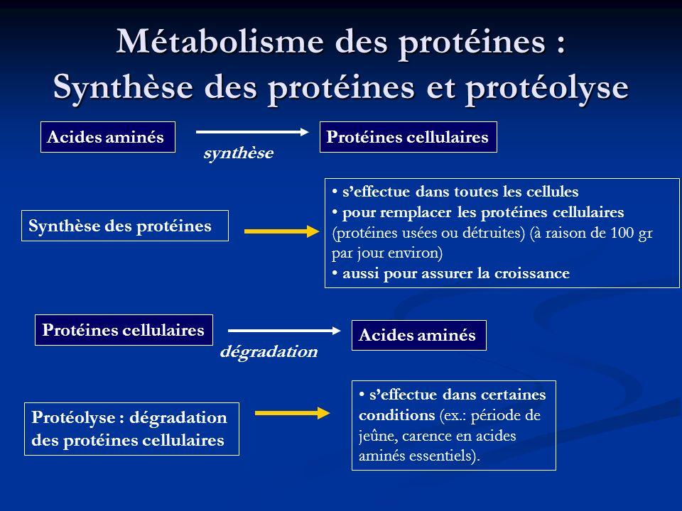 Métabolisme des protéines : Synthèse des protéines et protéolyse Synthèse des protéines seffectue dans toutes les cellules pour remplacer les protéine
