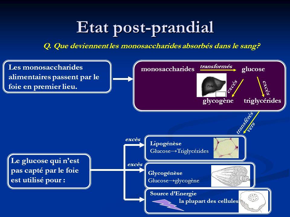 Etat post-prandial Les monosaccharides alimentaires passent par le foie en premier lieu. Q. Que deviennent les monosaccharides absorbés dans le sang?