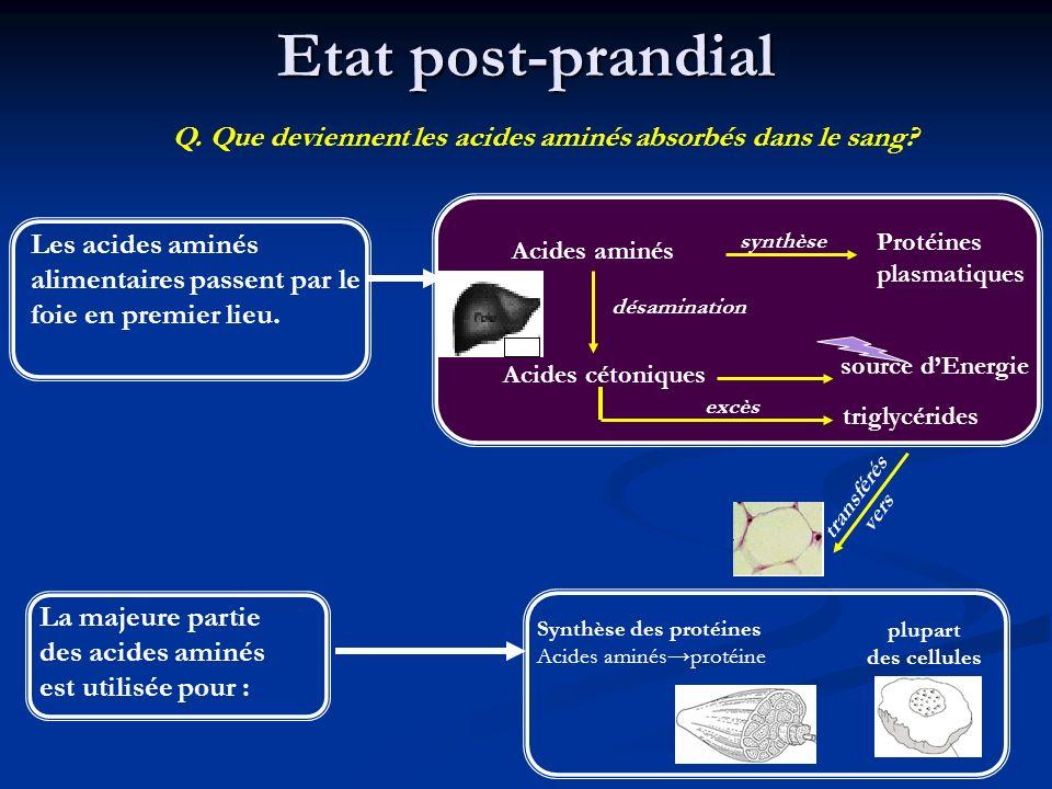 Etat post-prandial Les acides aminés alimentaires passent par le foie en premier lieu. Q. Que deviennent les acides aminés absorbés dans le sang? Acid