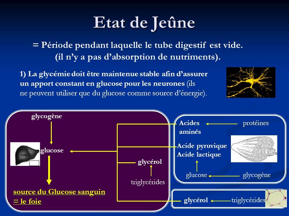 Etat de Jeûne = Période pendant laquelle le tube digestif est vide. (il ny a pas dabsorption de nutriments). 1) La glycémie doit être maintenue stable