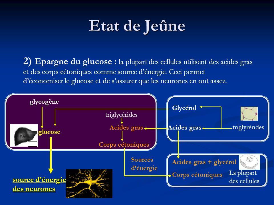 Etat de Jeûne 2) Epargne du glucose : la plupart des cellules utilisent des acides gras et des corps cétoniques comme source dénergie. Ceci permet déc