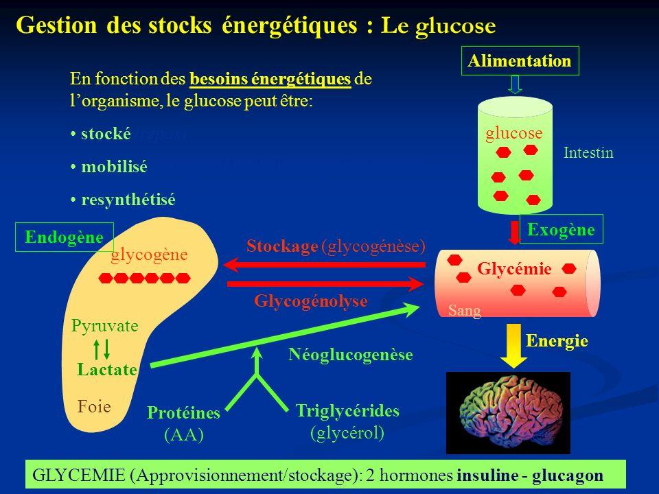 Foie Stockage (glycogénèse) Endogène glycogène Gestion des stocks énergétiques : Le glucose Sang Glycémie Glycogénolyse Lactate Pyruvate Néoglucogenès