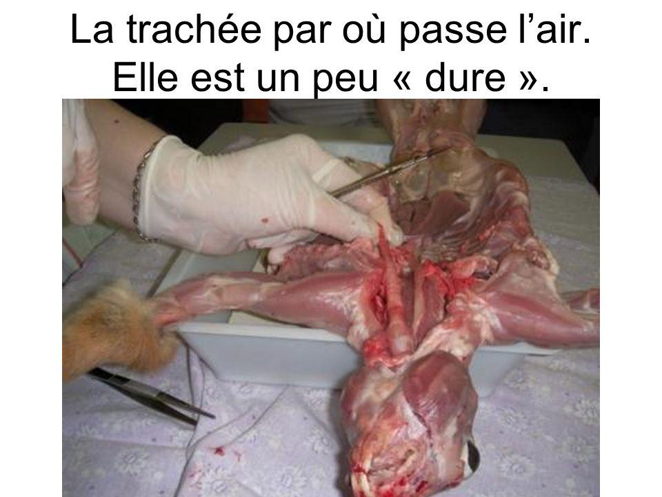 lœsophage le foie un rein On vide la cage thoracique pour suivre lœsophage et voir où il va.