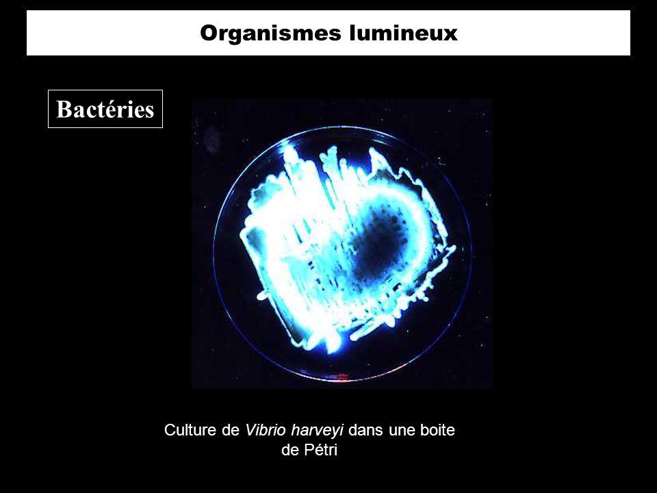 Culture de Vibrio harveyi dans une boite de Pétri Bactéries Organismes lumineux