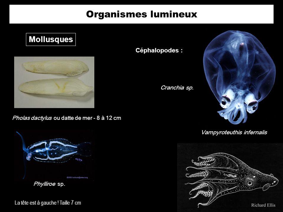 Organismes lumineux Mollusques Pholas dactylus ou datte de mer - 8 à 12 cm Phylliroe sp. La tête est à gauche ! Taille 7 cm Céphalopodes : Vampyroteut