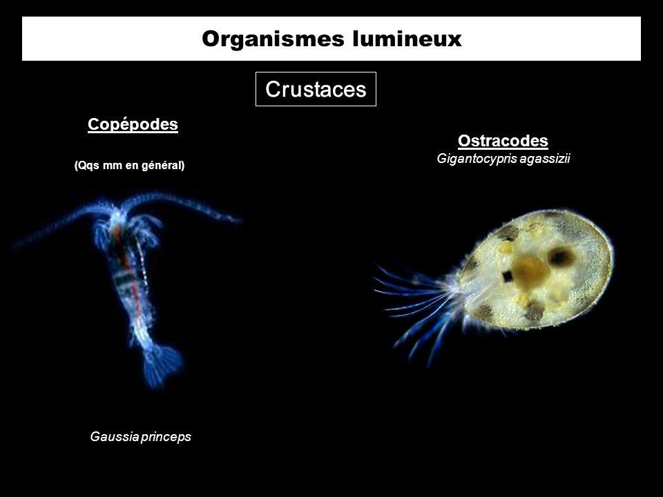 Crustaces Organismes lumineux Ostracodes Gigantocypris agassizii Copépodes Gaussia princeps (Qqs mm en général)